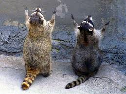 Praying racoons